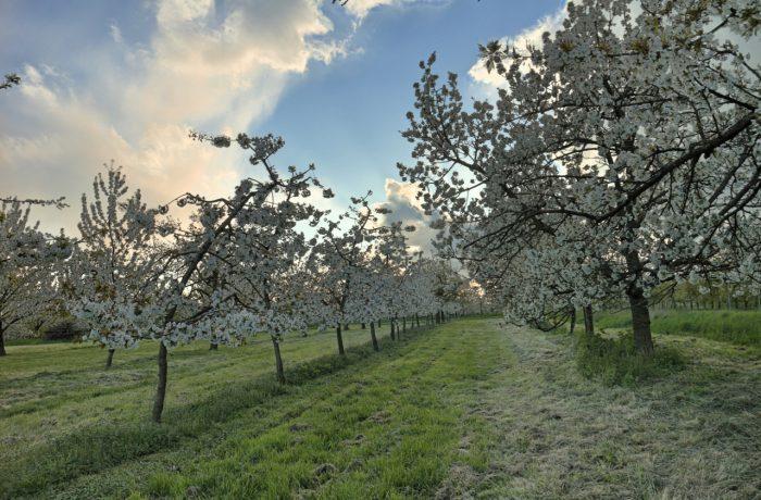 Junge Kirschbäume